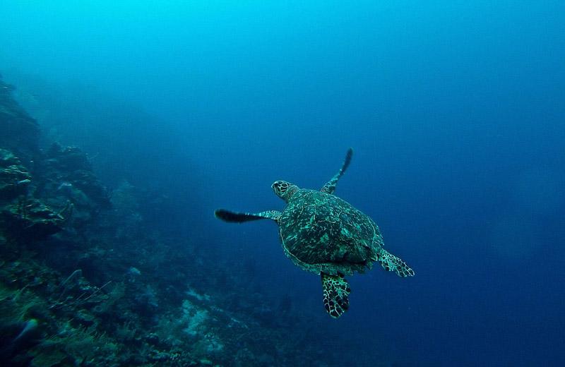 Florida Keys sea turtle